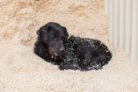 mongrel: black mongrel dog lying on the sawdust. on construction sites Stock Photo