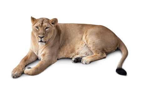 una hermosa leona mentir. aislado en el fondo blanco