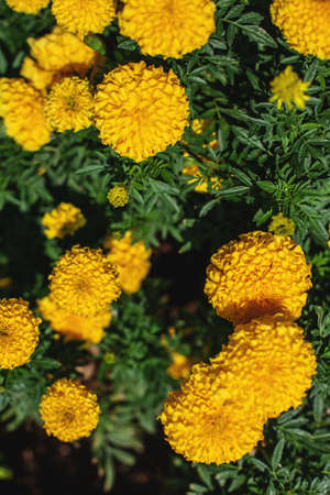 Marigold flowers are orange and yellow. natural background Stock Photo