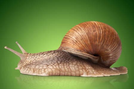 One big snail on green background