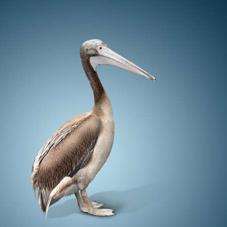 baby bird of a pelican on blue background