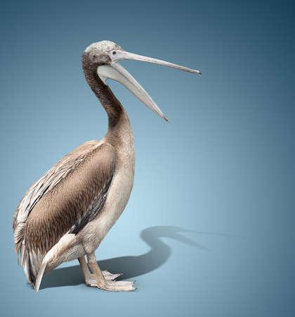 baby bird of a pelican on blue background. the beak is open