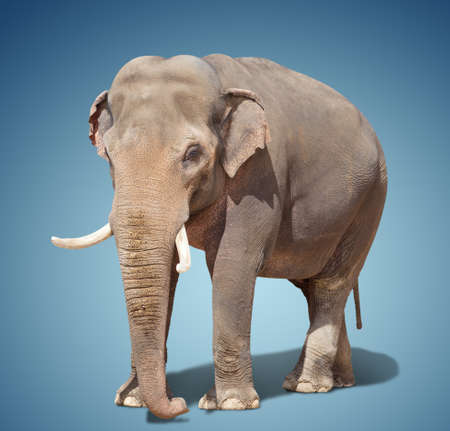 big elephant standing on a blue background. Stock Photo