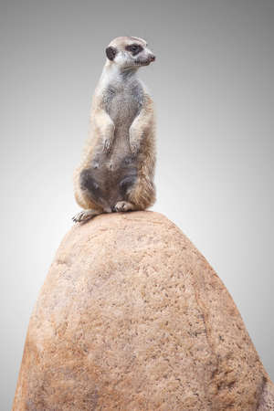 one cute little meerkat sits on a stone and looks at the back.