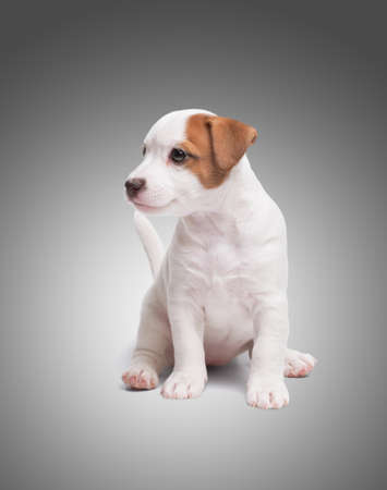 the puppy Jack Russell sit on gray background