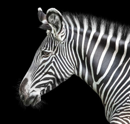 portrait of zebra on black background Standard-Bild