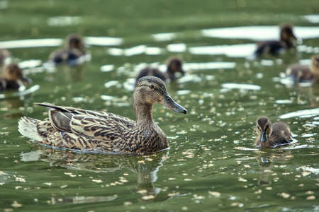 mother-duck and ducklings float in the lake