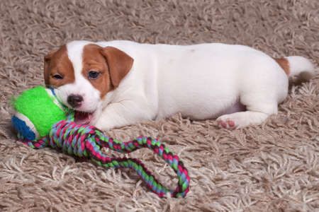 the puppy Jack Russell goes on carpet, plays ball