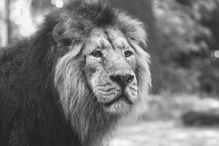 portrait of a large beautiful lion Foto de archivo