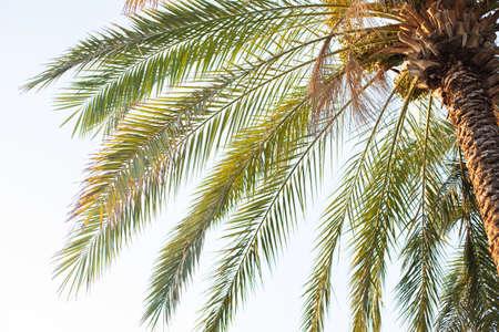 palm tree with dates on sky background Foto de archivo