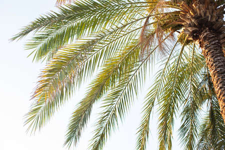 palm tree with dates on sky background Banco de Imagens
