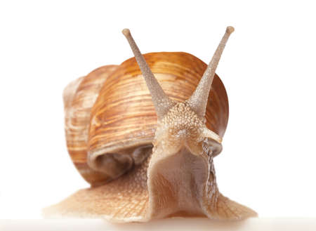 One big snail isolated on white