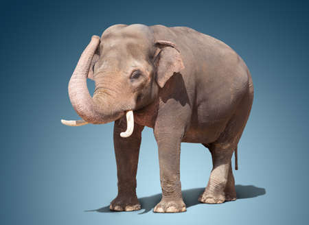 big elephant standing on a bluee background.