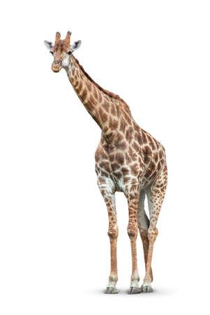 one giraffe is isolated on white background Standard-Bild