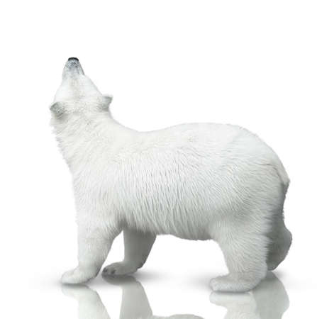 small polar bear cub is isolated on white background
