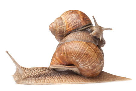 two big snails posing. isolated on white Archivio Fotografico