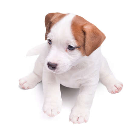 the puppy Jack Russell goes on white background. Isolated