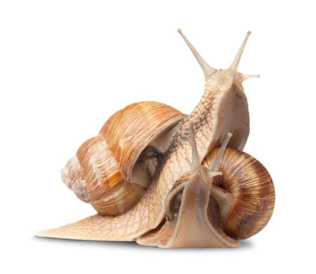two big snails posing. isolated on white