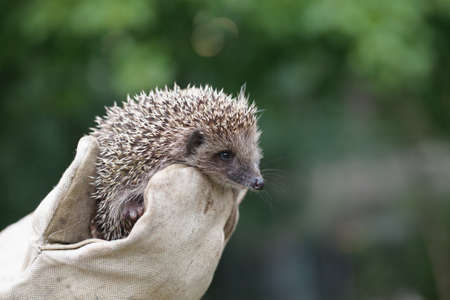 Girl holding a small hedgehog in tight gloves