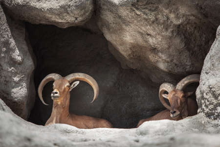 two mountain goats are sitting in a cave 스톡 콘텐츠