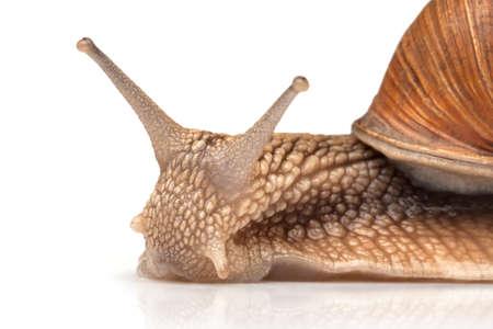 One big snail isolated on white Reklamní fotografie