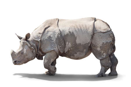 a large adult rhino is standing sideways. isolated on white background