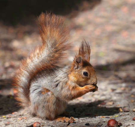 red-gray young squirrel in the forest. view with a side