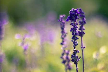 herbalism: Lavender flower in thailand