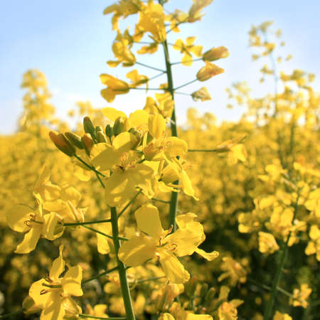 Close up of yellow rapeseed flowers