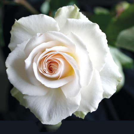 White Rose Archivio Fotografico - 44542717