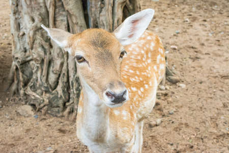 white tail deer: Young white tail deer in field