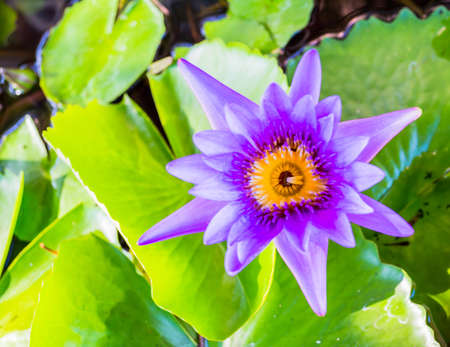 Close up shot of violet lotus blossom image . photo