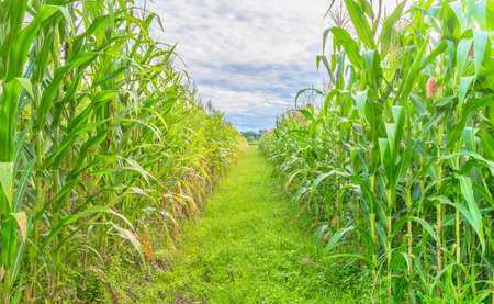 image of corn field and sky in background. photo
