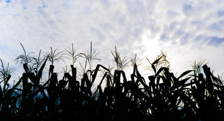 Sillhouette shot of corn field and sky in background. photo
