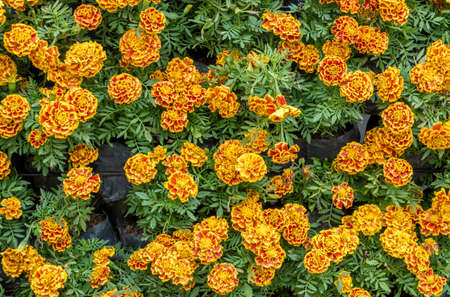 image of African marigold flower background. photo