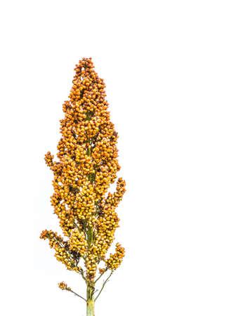 ソルガム種子のイメージは、白い背景に分離します。 写真素材