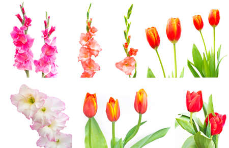 sword lily and tulips isolated photo