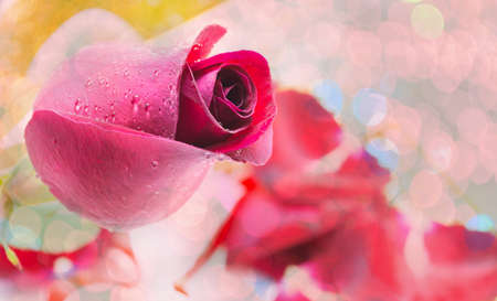 red rose on white background, Valentines Day background photo