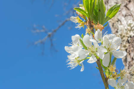 image of plum flower with blue sky background. photo