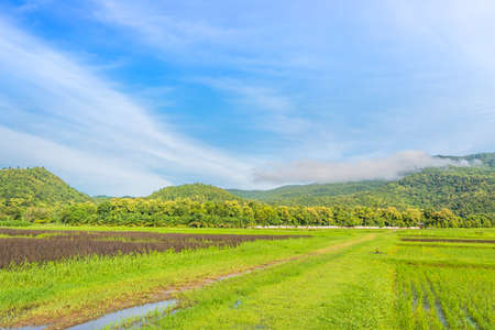 beauty sunny day on the rice field with clear sky and mountain in background photo