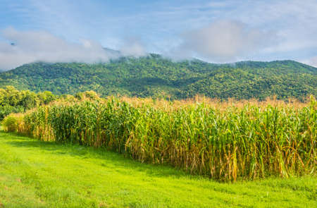 image of corn field and clear blue sky in background. photo