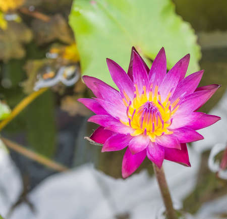 image of Beautiful rich colors of a waterlily on the waters surface . photo