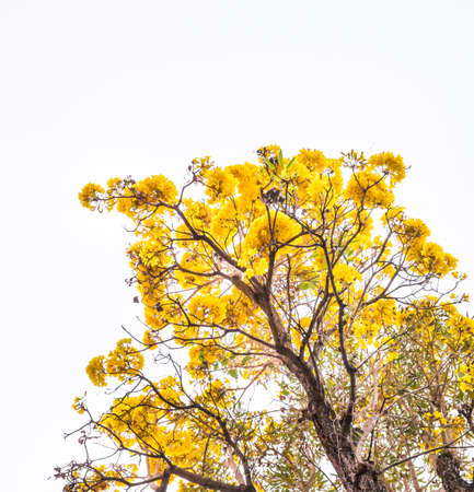 yellow flower tree: image of Tabebuia chrysotricha yellow flower tree from Thailand. Stock Photo
