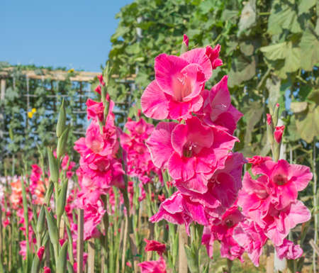 image of Purple gladiolus flower in the garden. Stock Photo