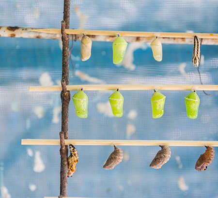 wooden stick: image of  Butterfly Pupa hang on wooden stick. Stock Photo
