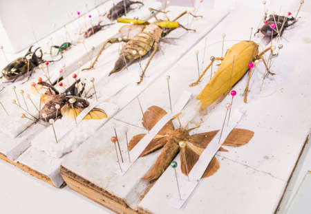 image of Collection of beetle butterfly wasps and insects with pin.