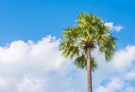 toddy palm: image of Toddy palm  on day time with blue sky.