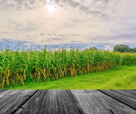 corn rows: image of corn field and sky in background. Stock Photo