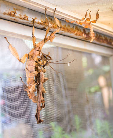 spectre: image of Macleay's spectre Giant Prickly Stick Insect, Extatosoma tiaratum.
