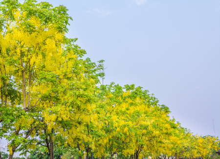 fistula: image of Golden Shower flower(Cassia fistula) in Chiang mai Thailand for background usage.